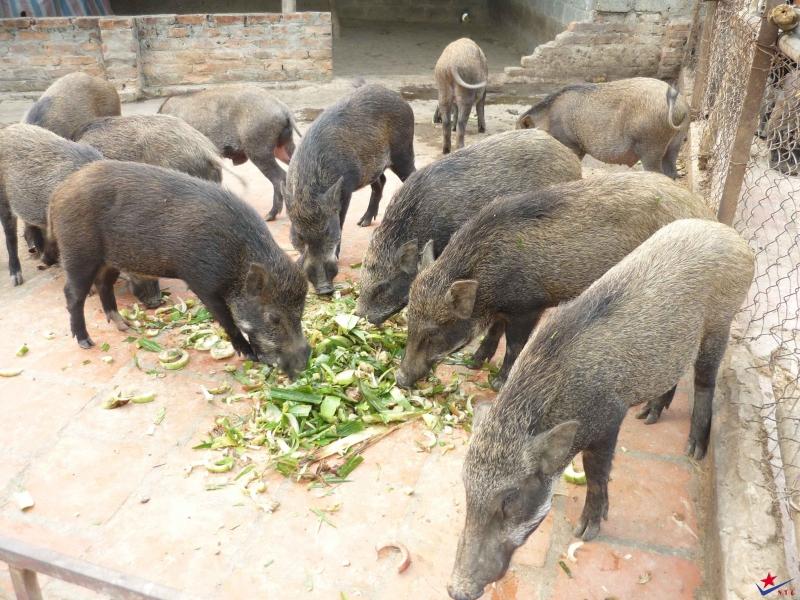 Chăn nuôi lợn thả vườn